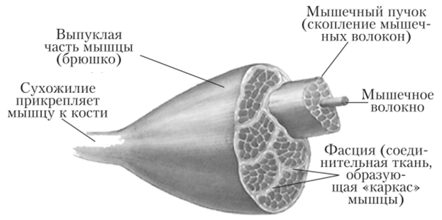 Схема строения мышцы с обозначениями