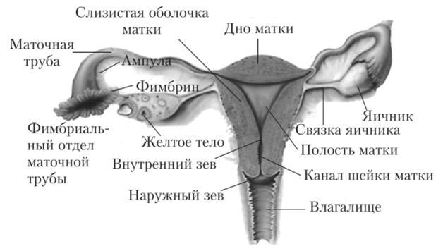 Несозревшая вагина до полового созревания