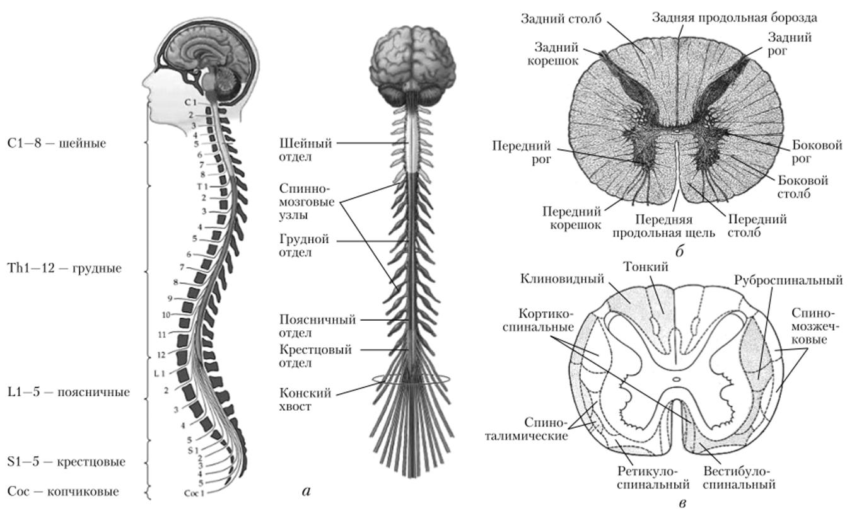 участок спинного мозга в картинках создают пост