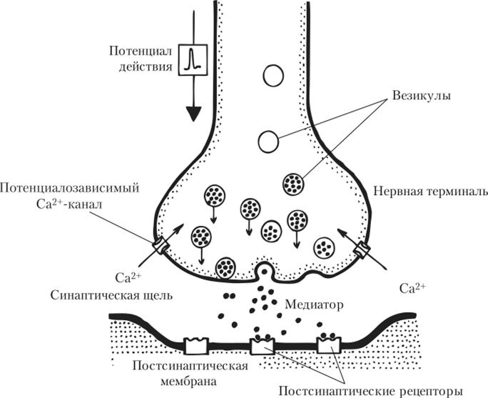 при схема строения синапса родители