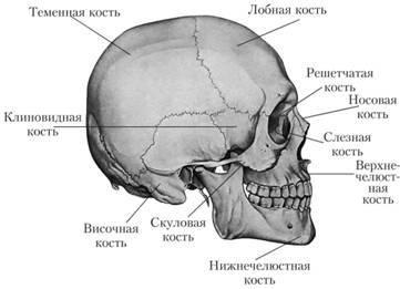 Анатомия костно-суставной системы артроз плюснефаланговых суставов