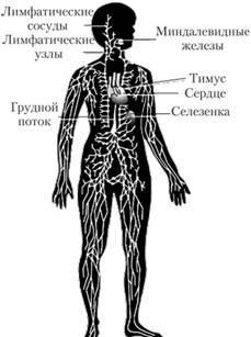 Строение и функции лимфатических сосудов реферат 1883