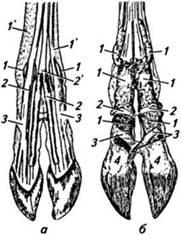 Часть стопы между путовым суставом и копыта при ходьбе болит кость над голеностопным суставом